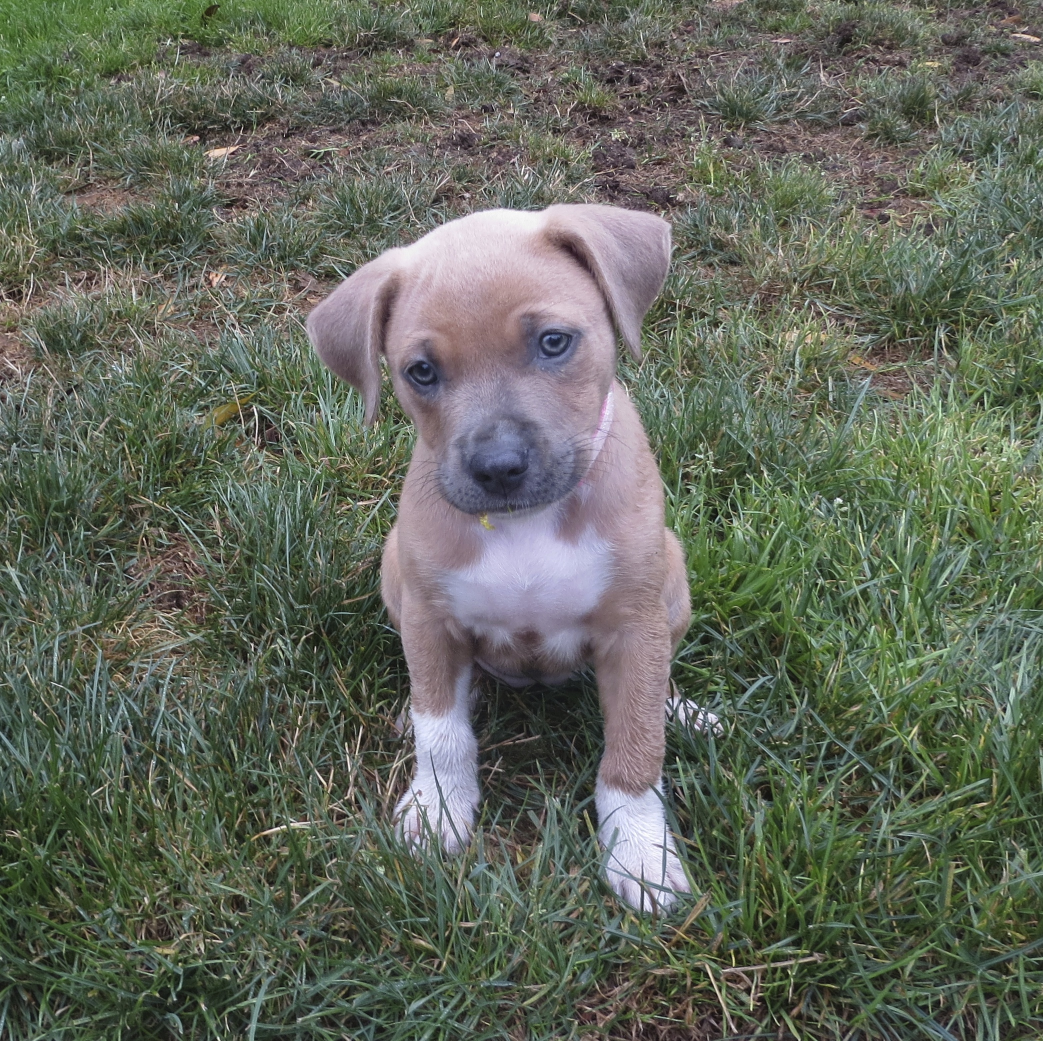 Tan and White American Pit Bull Terrier Mix Puppy