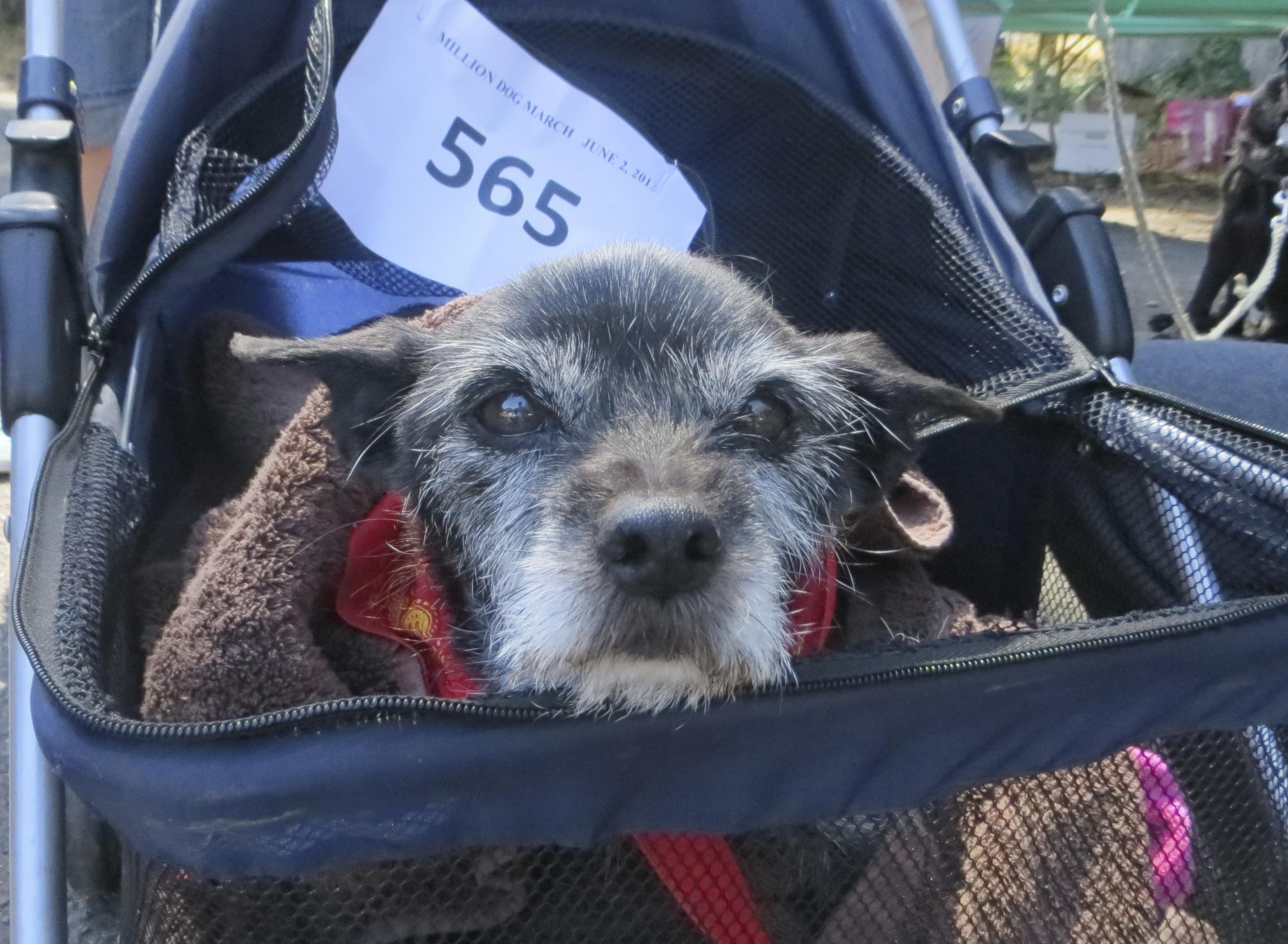 Terrier in Stroller