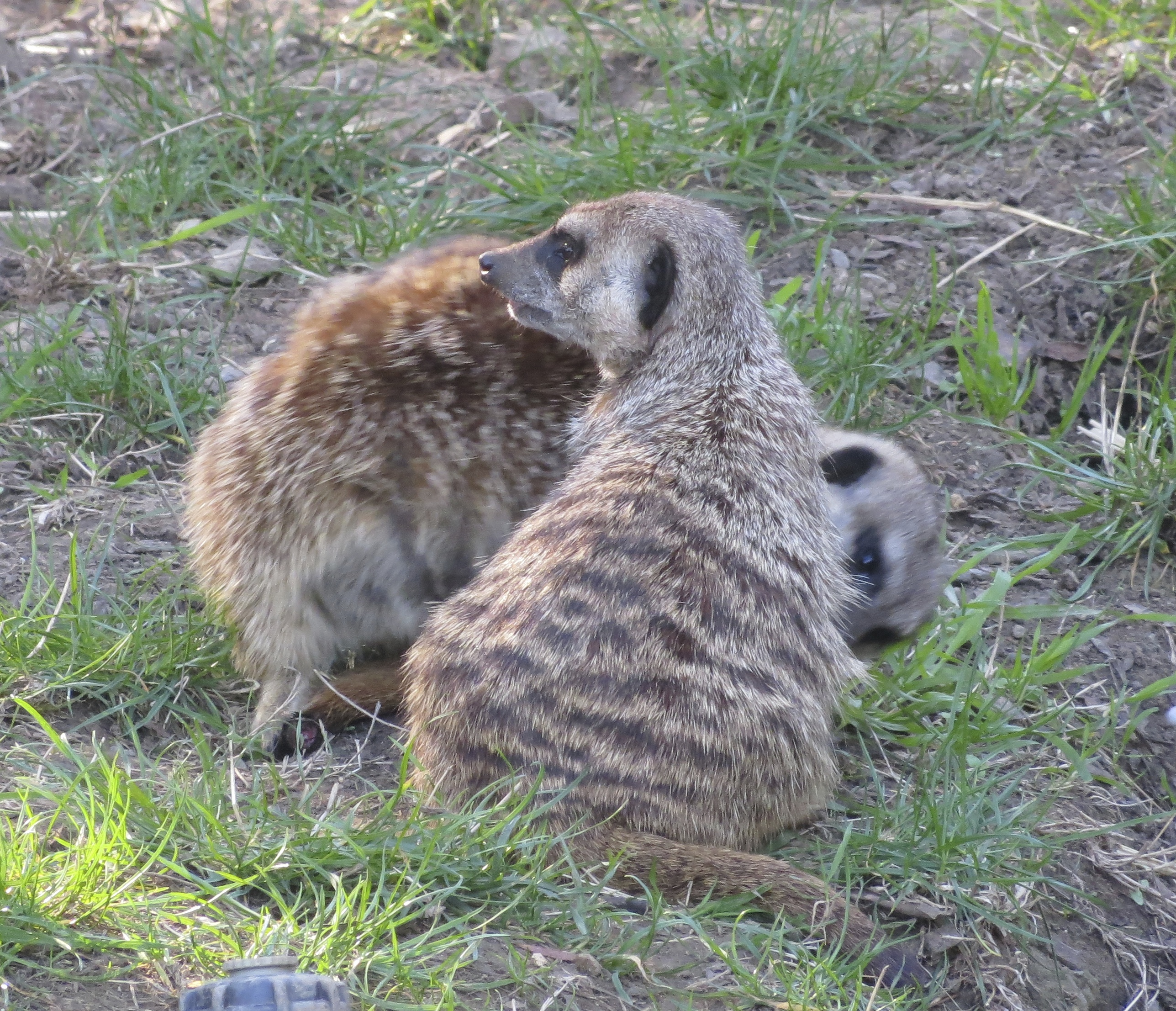 Two Meerkats, One Listening To The Ground