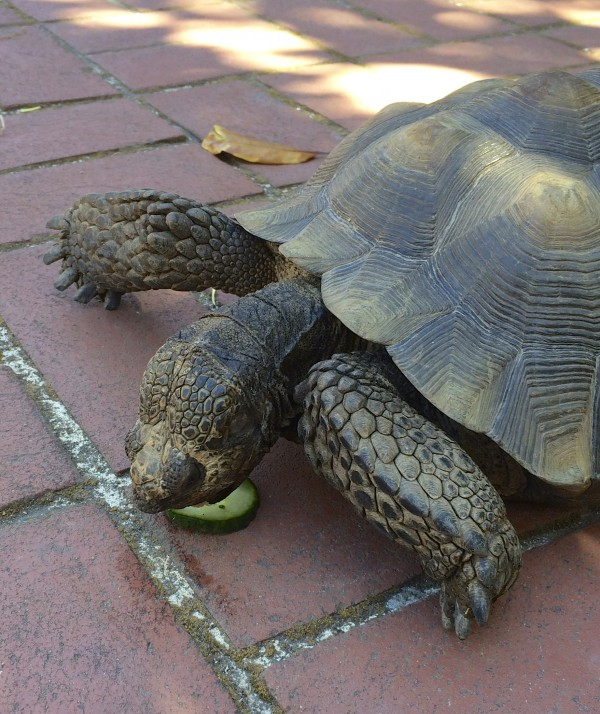 California Desert Tortoise Eating A Cucumber Slice