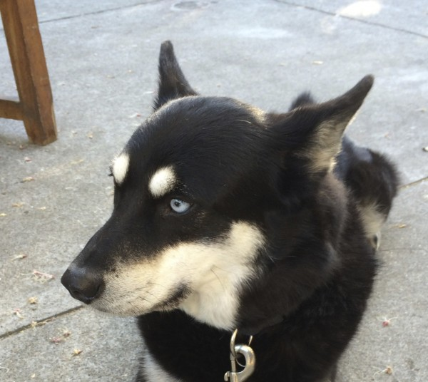 Black With Tan Points Husky Mix