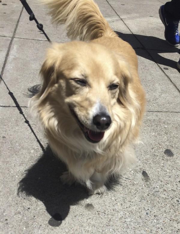 Golden Long-Haired Dachshund Smiling