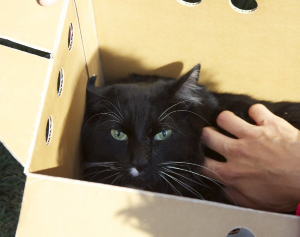 Black Cat In A Box Being Petted
