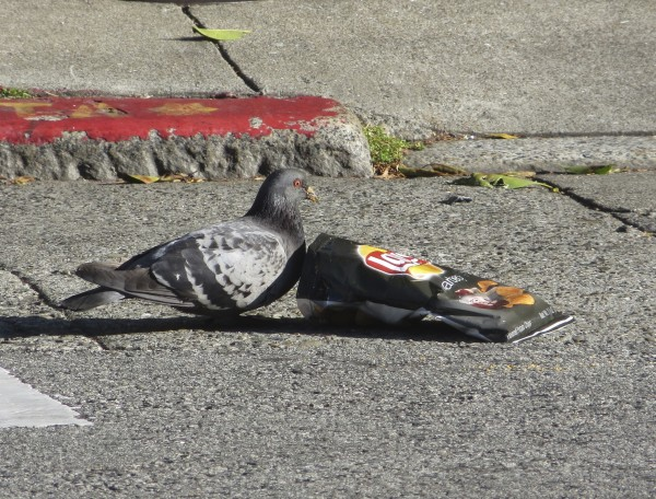 Pigeon Eyeing Potato Chip Bag
