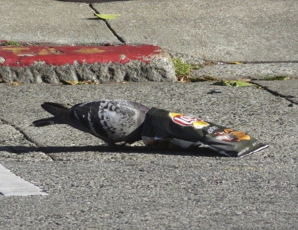 Pigeon With Head Stuck In Potato Chip Bag