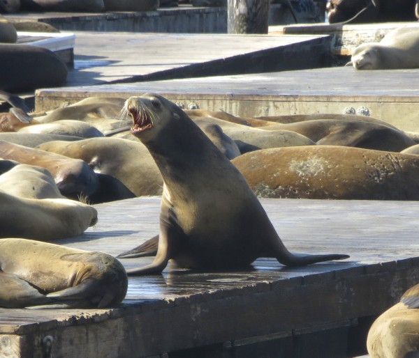 Sea Lion Being Very Vocal