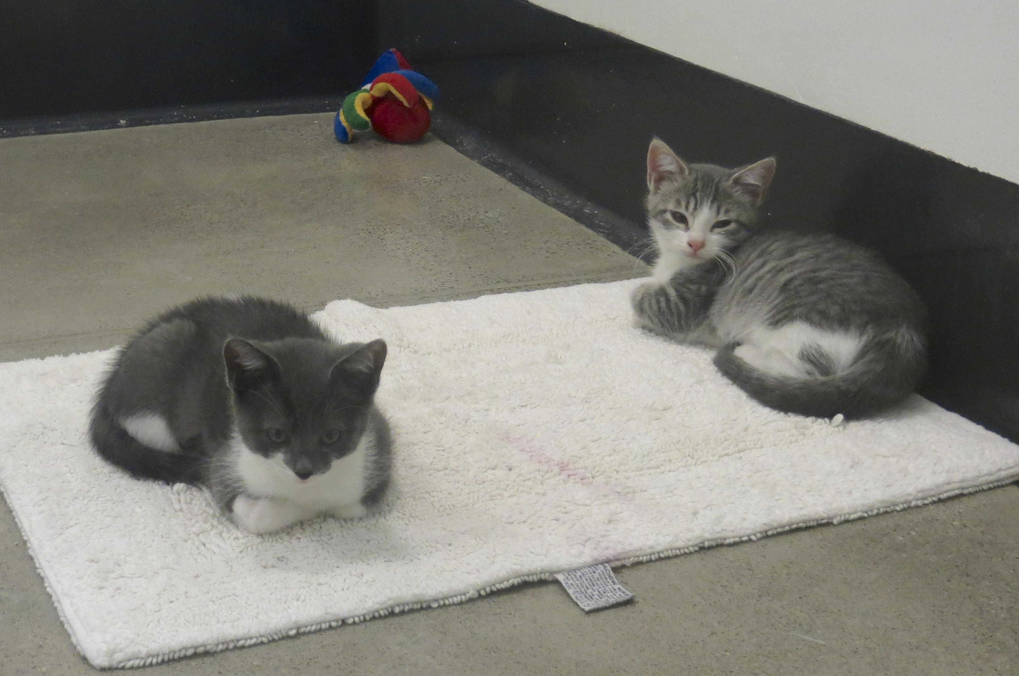 Grey Tiger Tabby Kitten and Grey Tuxedo Kitten