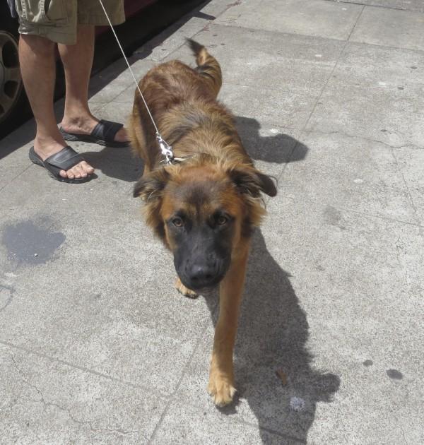 German Shepherd Dog Looking Focused