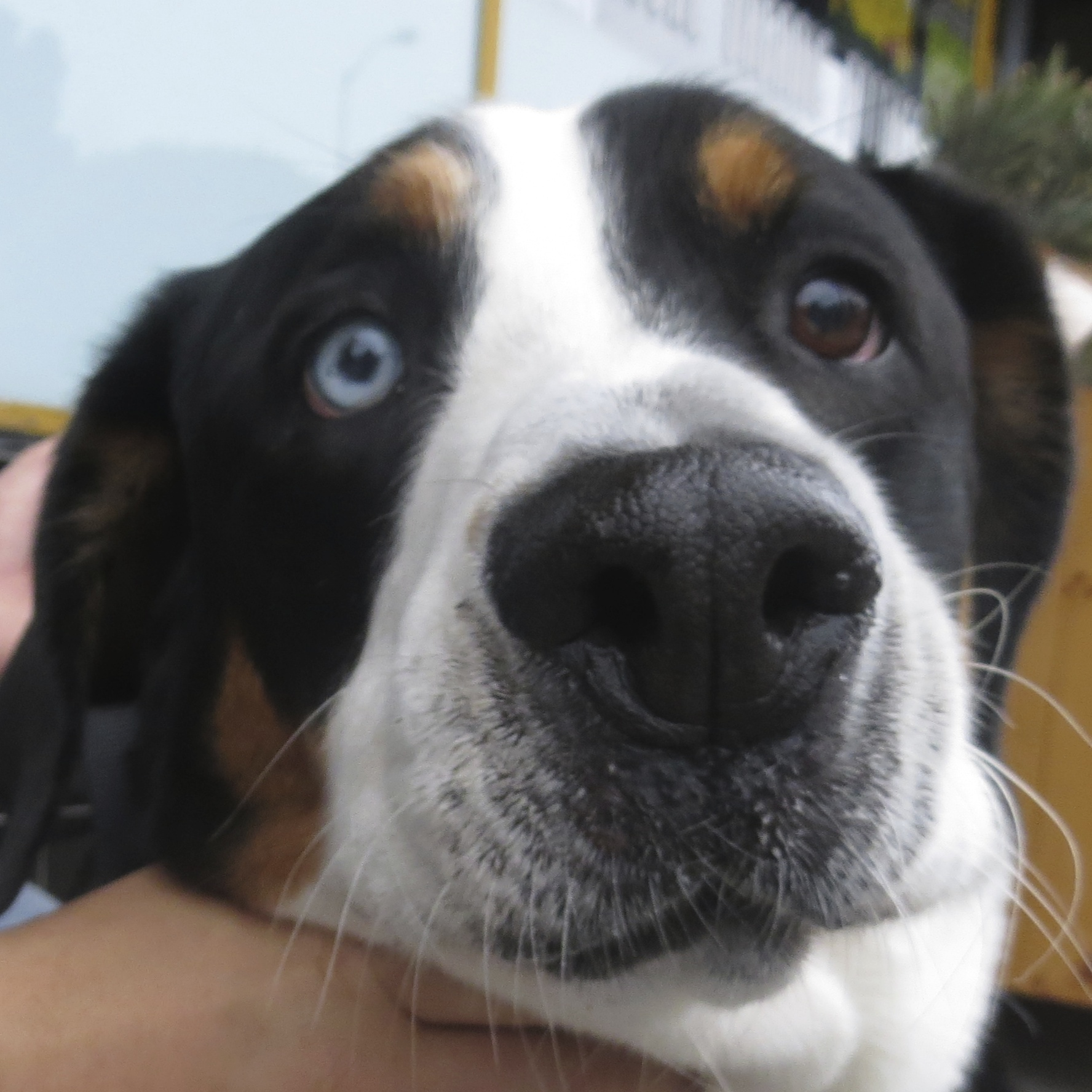 Greater Swiss Mountain Dog With One Blue Eye
