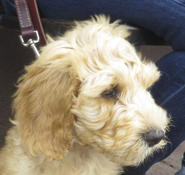 Pensive-Looking Goldendoodle Puppy