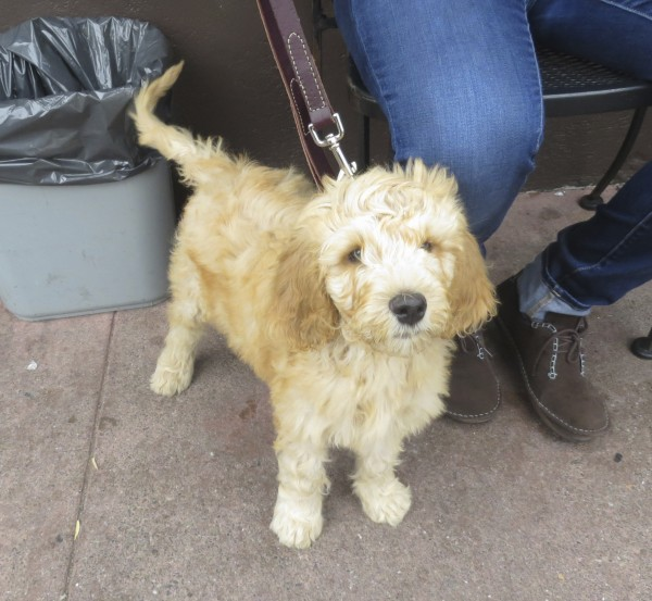 Little Fluffy Goldendoodle Puppy
