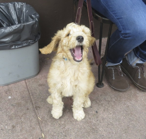 Goldendoodle Puppy Looking Happy
