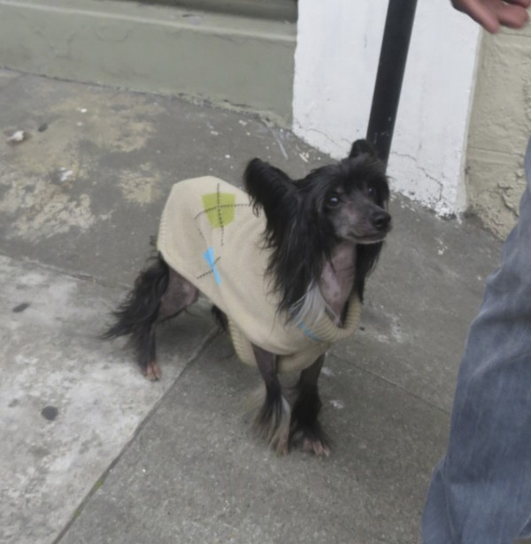 Chinese Crested Dog in a Brown Sweater Smiling