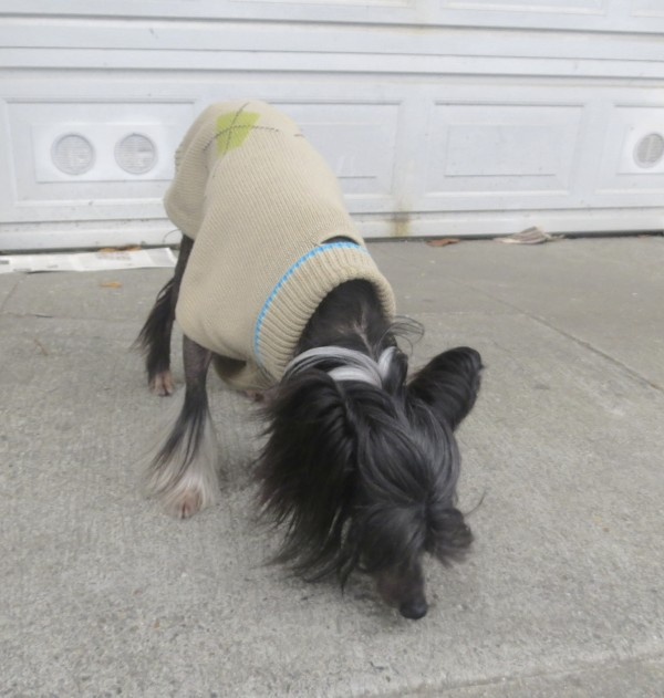 Chinese Crested Dog in a Brown Sweater