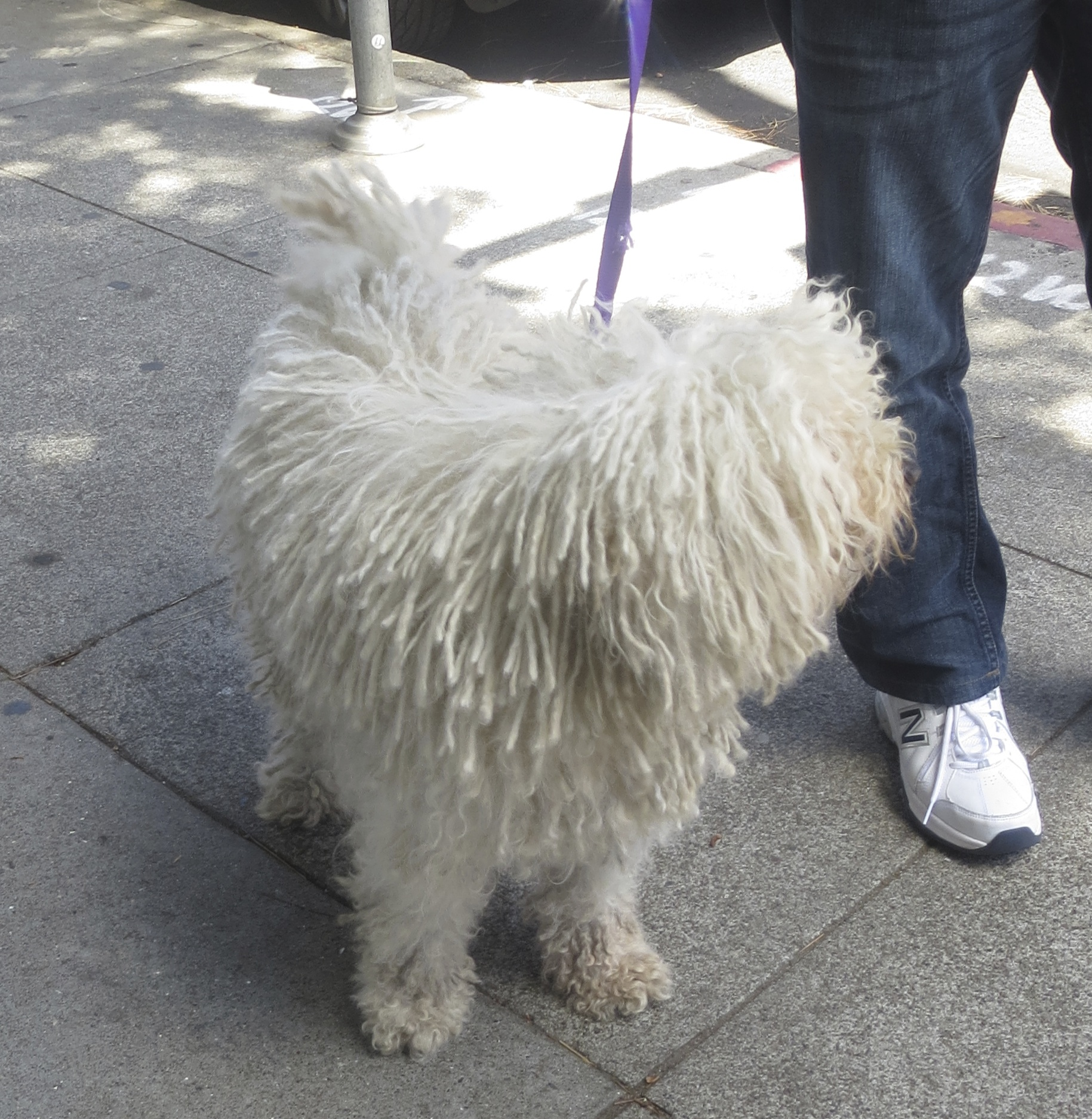 White Puli Looking Away From Camera