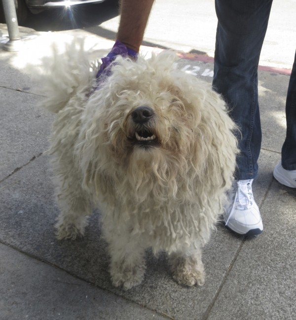Smiling White Puli with Wagging Tail