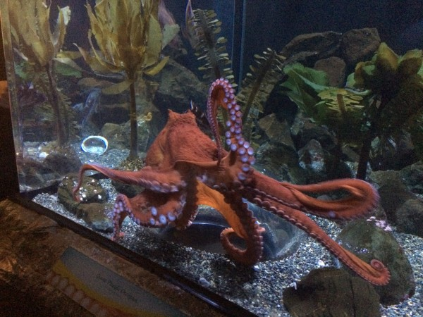 Young Pacific Giant Octopus