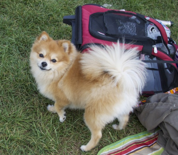 Pomeranian With Giant Poofly Tail