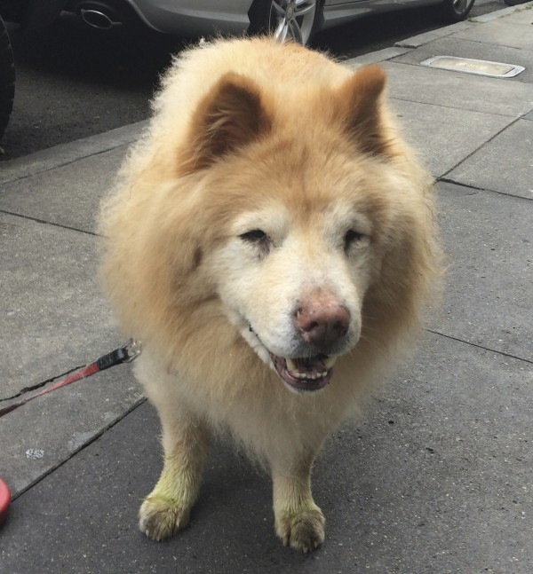 Senior Yellow Chow