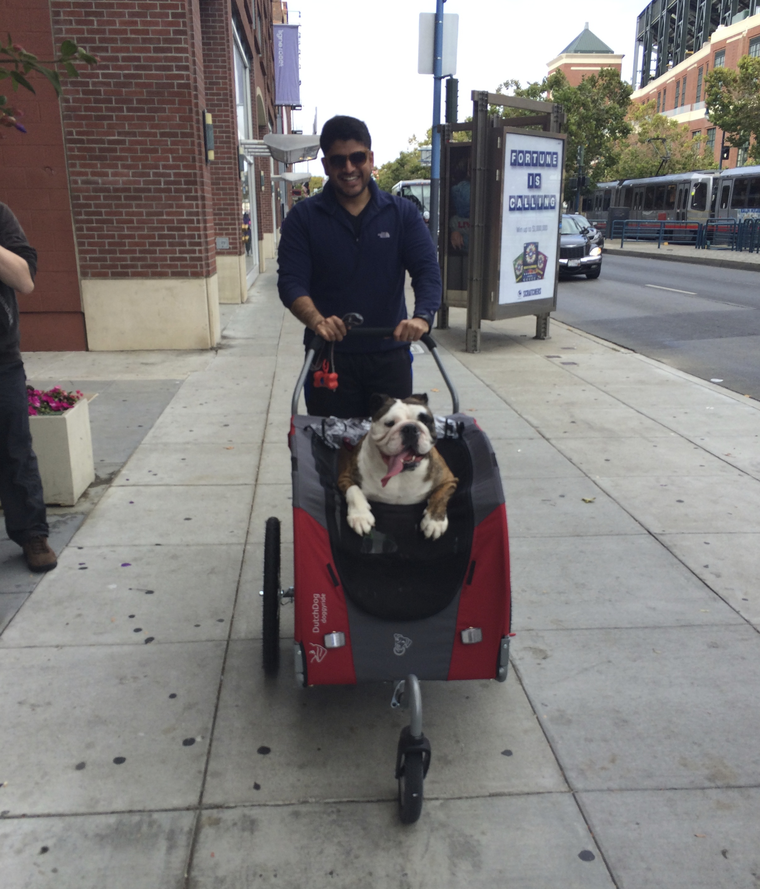 English Bulldog in a Stroller