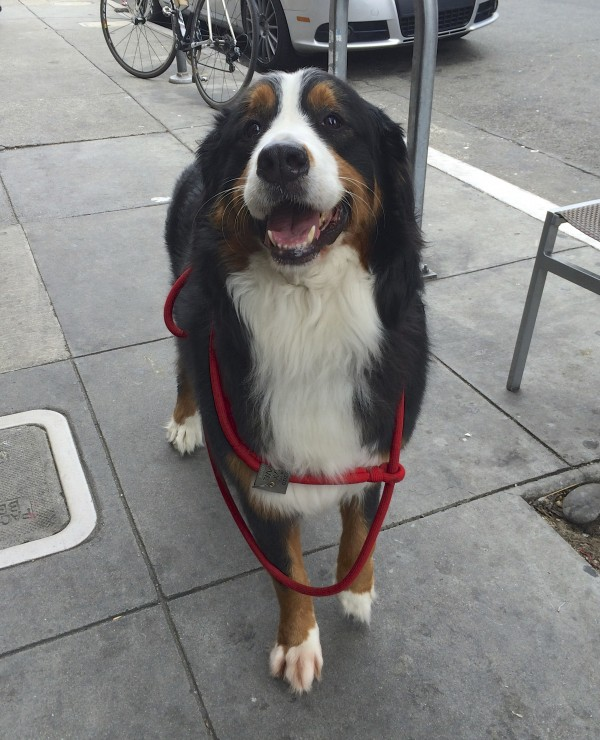 Bernese Mountain Dog Looking Happy