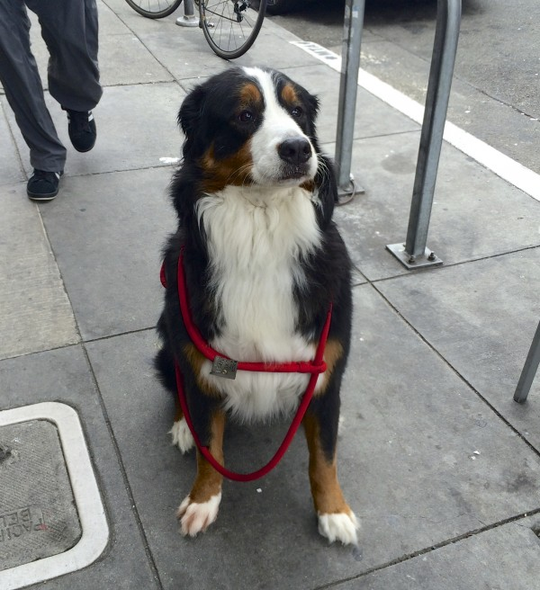 Bernese Mountain Dog Looking Disgruntled