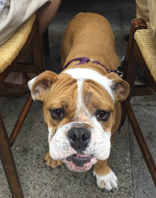 English Bulldog Puppy Under A Table