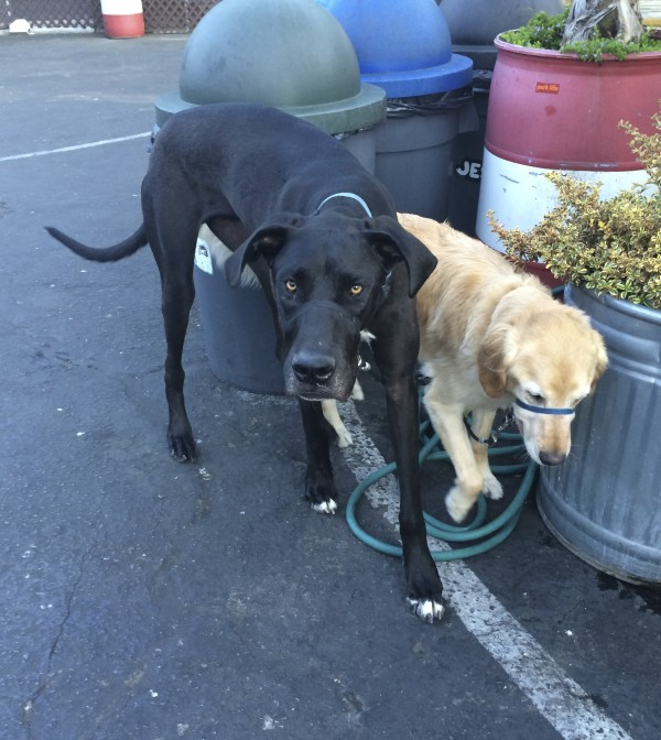 Black Great Dane and Golden Retriever