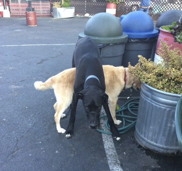 Black Great Dane Standing Over Golden Retriever