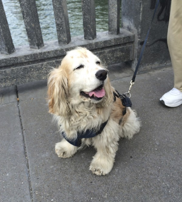 Tan And White Spaniel Of Some Kind