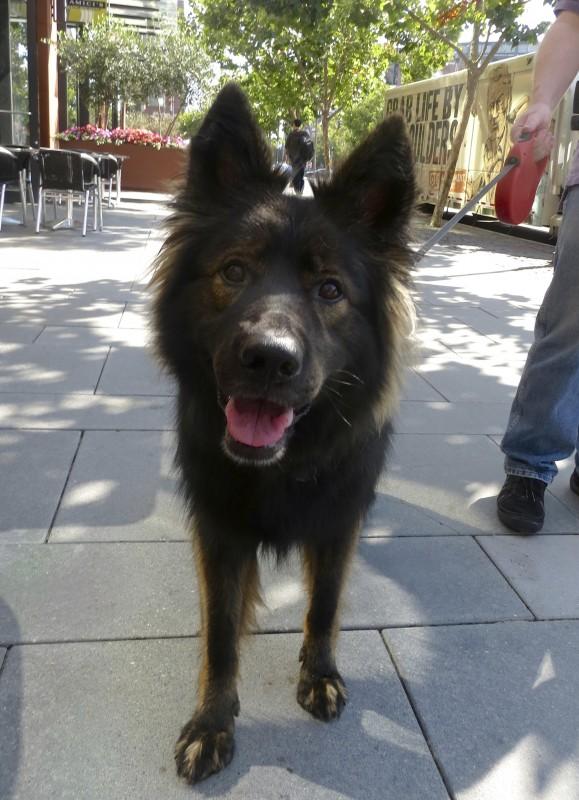 Gorgeous Long-Coated Sable German Shepherd Smiling