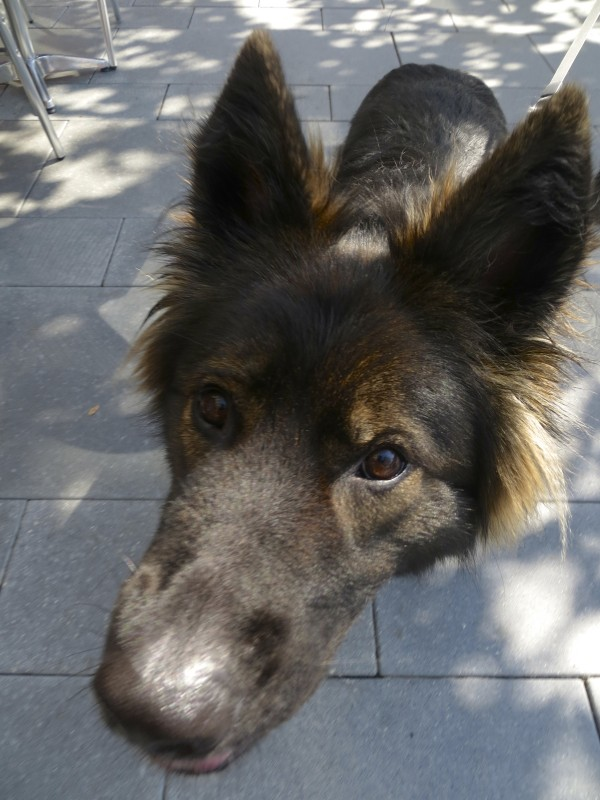 Gorgeous Long-Coated Sable German Shepherd Sniffing The Camera