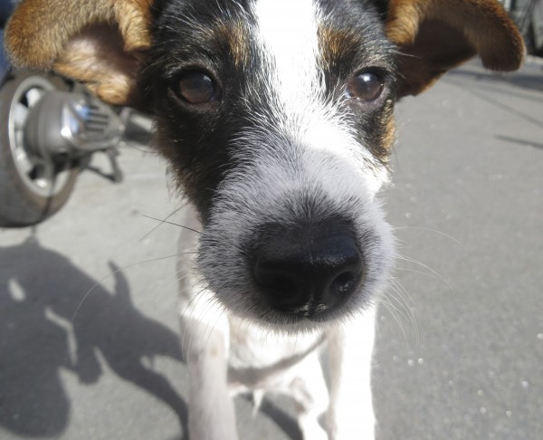 Jack Russell Terrier Puppy Examining The Camera
