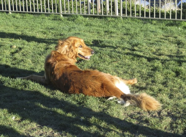 Golden Retriever Lounging In The Grass