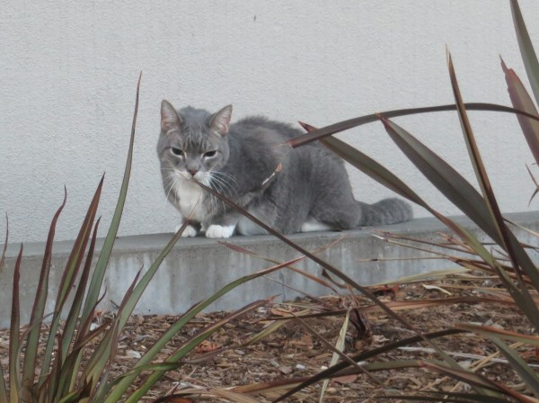Grey And White Kitty
