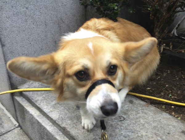 Red And White Pembroke Welsh Corgi With Her Ears Sticking Out Straight To The Sides