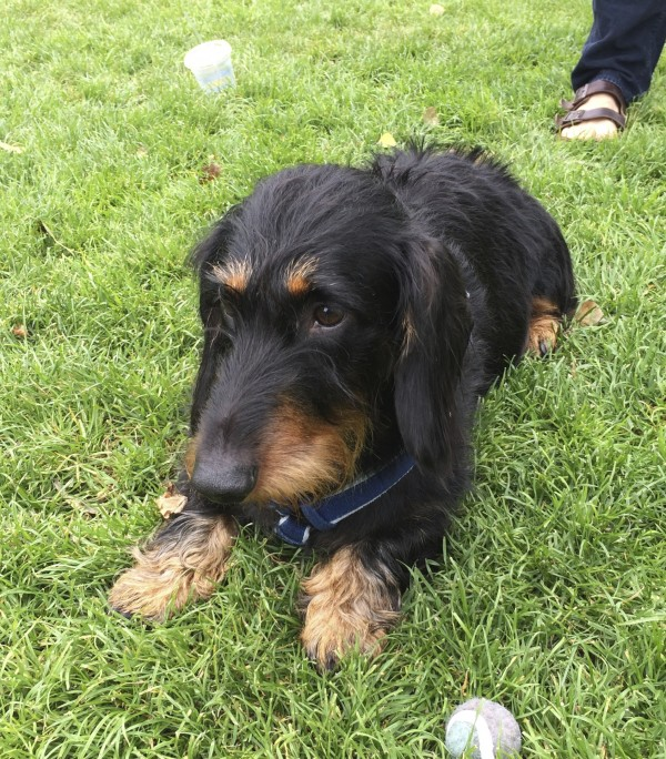 Black and Tan Wire-Haired Standard Dachshund