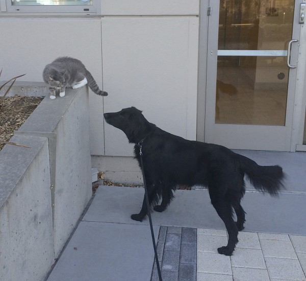 Black Flat-Coated Retriever And Grey And White Cat Looking At One Another