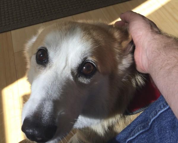 Red And White Pembroke Welsh Corgi Making Puppydog Eyes