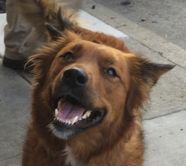 Nova Scotia Duck-Tolling Retriever/Chow Mix Face With Giant Grin