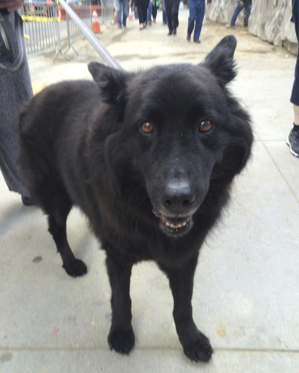 Black Fluffy Chow Belgian Shepherd Mix Looking Very Happy Indeed