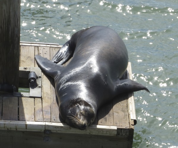 Sea Lion Basking On A Dock
