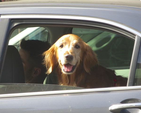 Happy Golden Retriever In The Back Seat Of A Car
