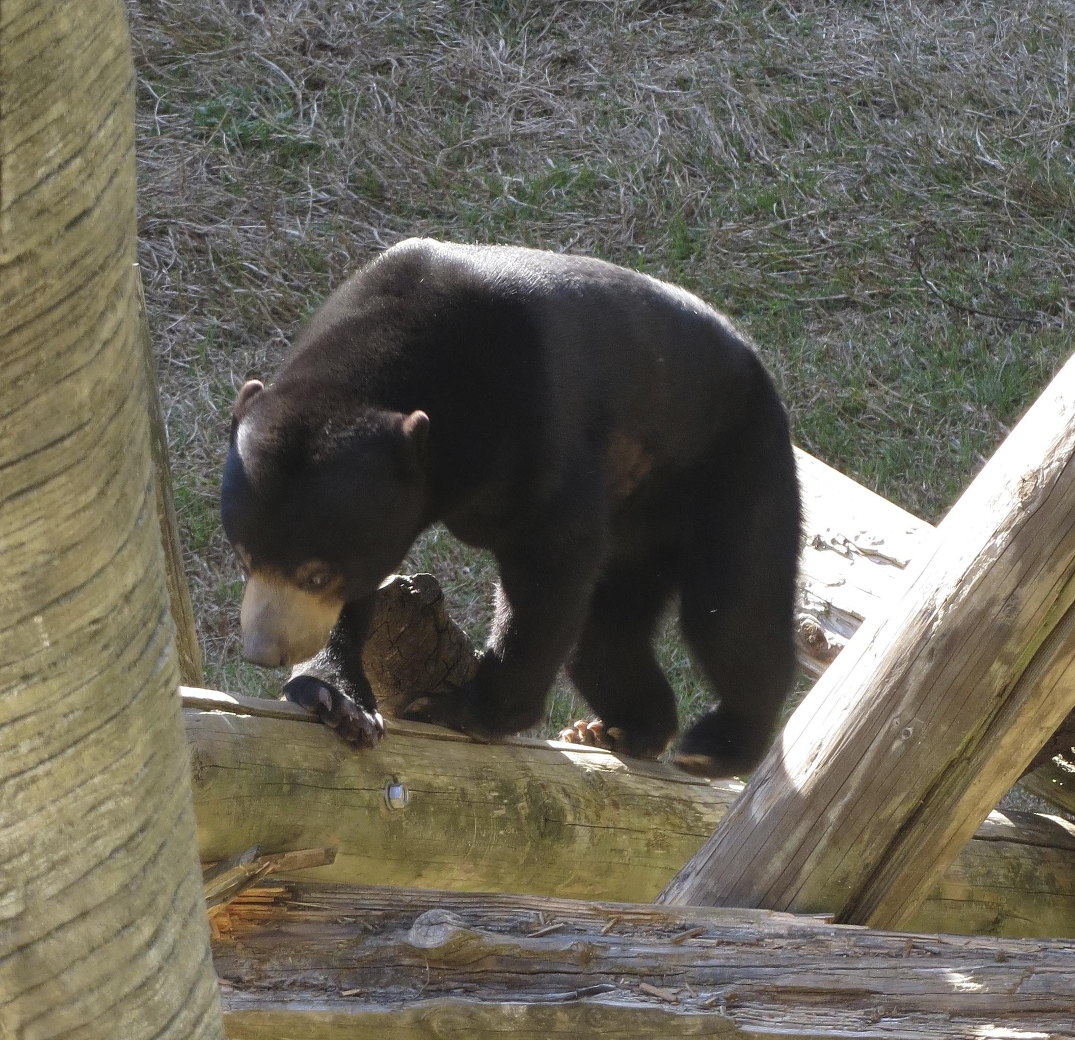 African Sun Bear On Tree
