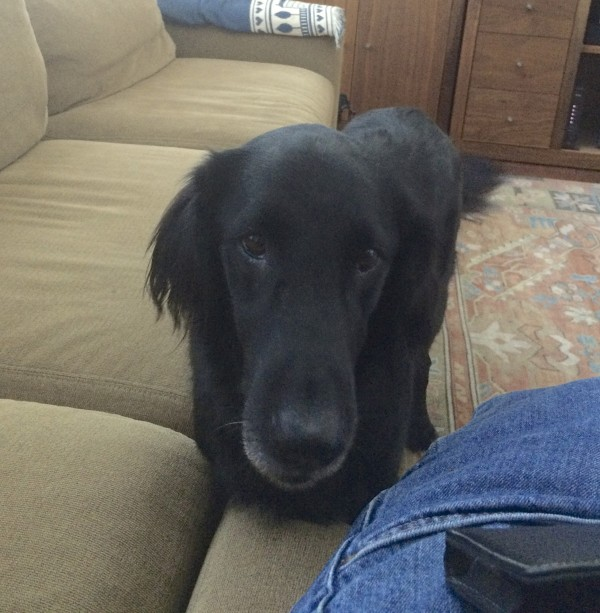 Black Flat-Coated Retriever Staring At Me