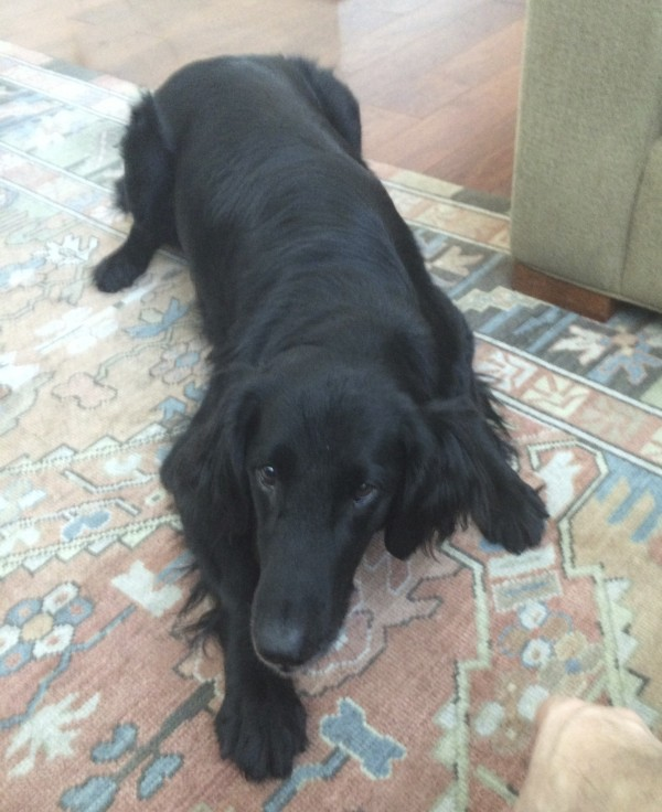 Black Flat-Coated Retriever Lying On A Rug