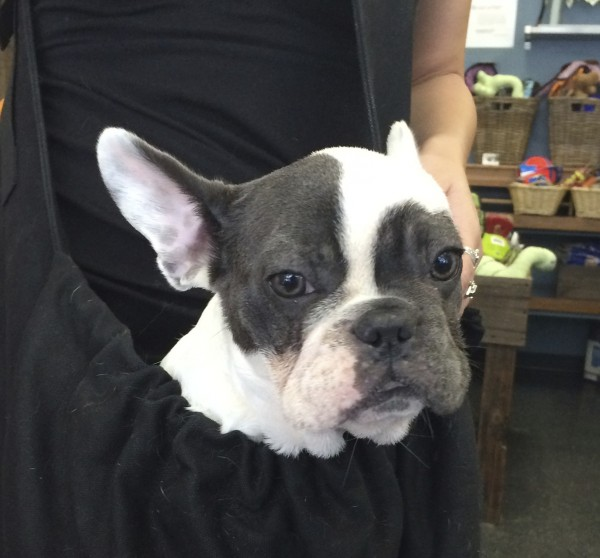 Grey And White French Bulldog Puppy In A Bag Around A Woman's Neck