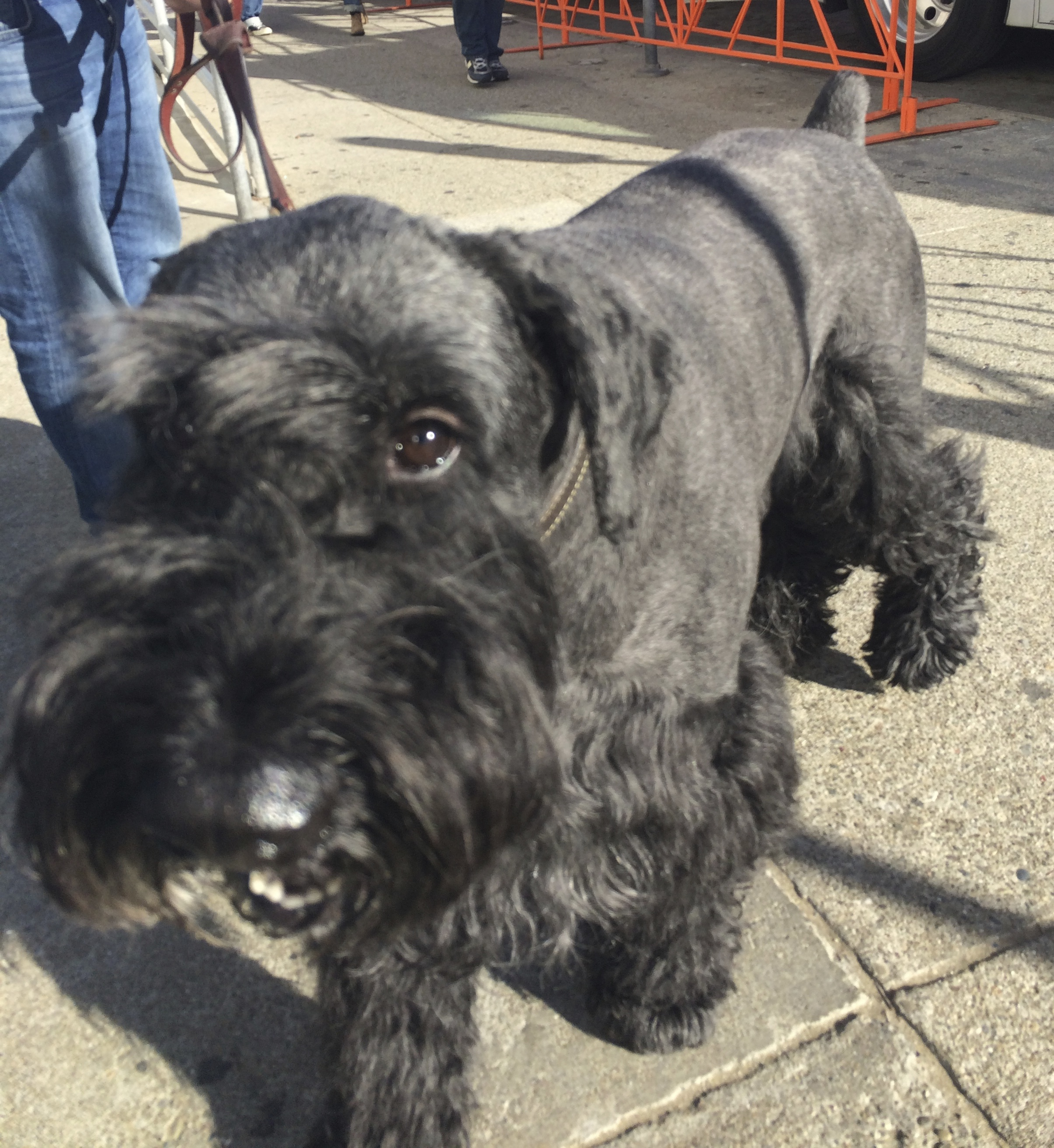 Black Giant Schnauzer With Traditional Cut