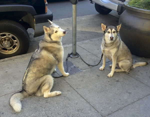 Two Silver-And-White Siberian Huskies Tied To A Parking Meter