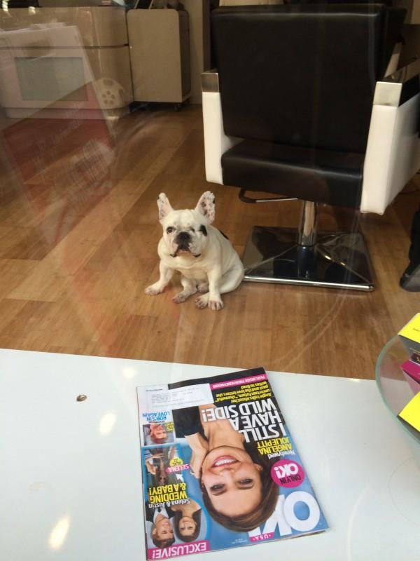 French Bulldog Sitting Funny